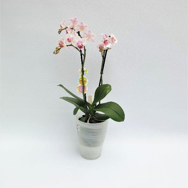 Standard Phalaenopsis weiß, 2- Trieber Bild 1