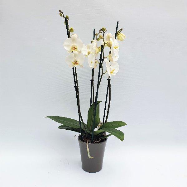 Exclusiv Phalaenopsis weiß, 4- Trieber Bild 1