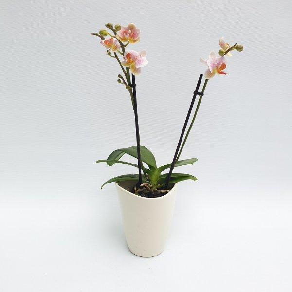 Midi Phalaenopsis rosa/weiß, 2- Trieber Bild 1
