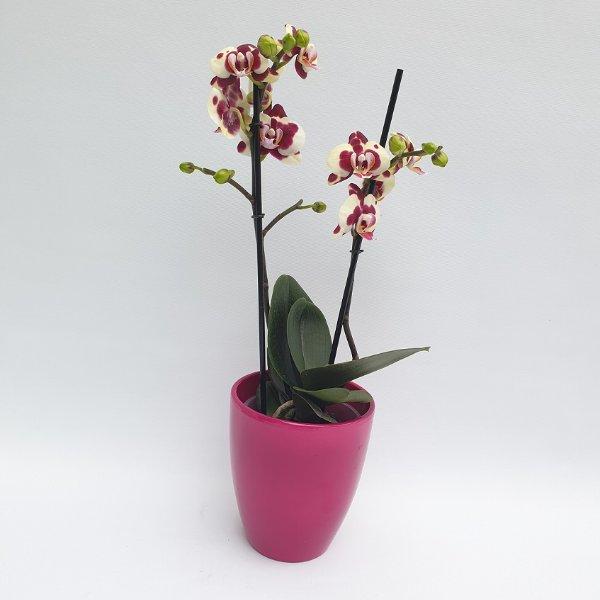 Standard Phalaenopsis rot/gelb, 2- Trieber Bild 1