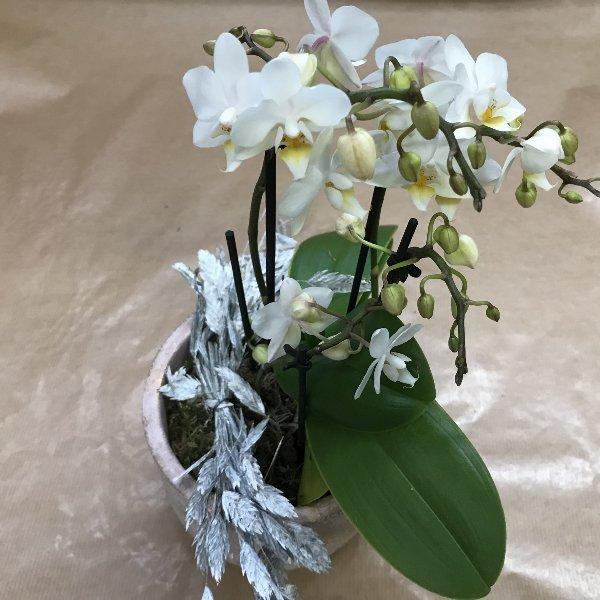 Miniorchidee geschmückt Bild 1