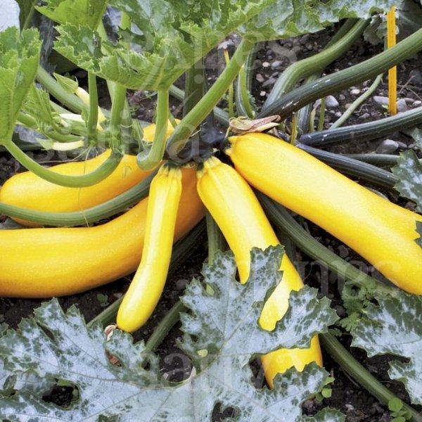 Auslese Sativa - Zuchetti gelb Bild 1