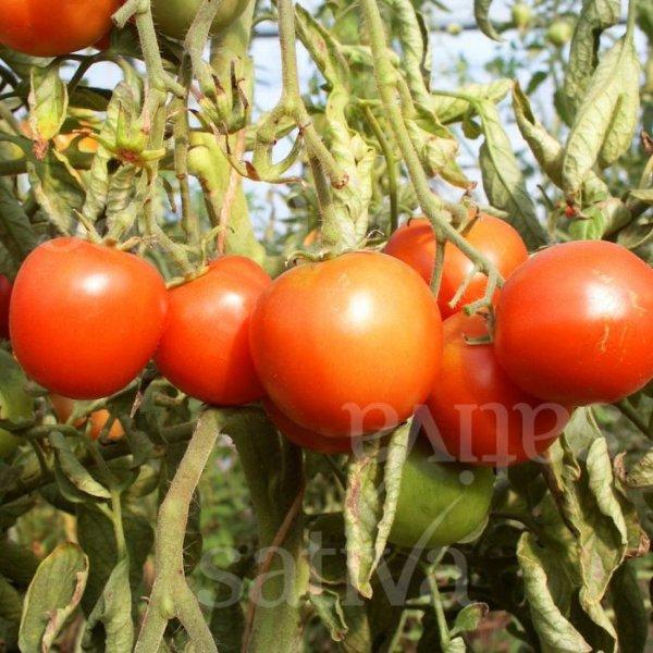 Sieger - Tomate Bild 1
