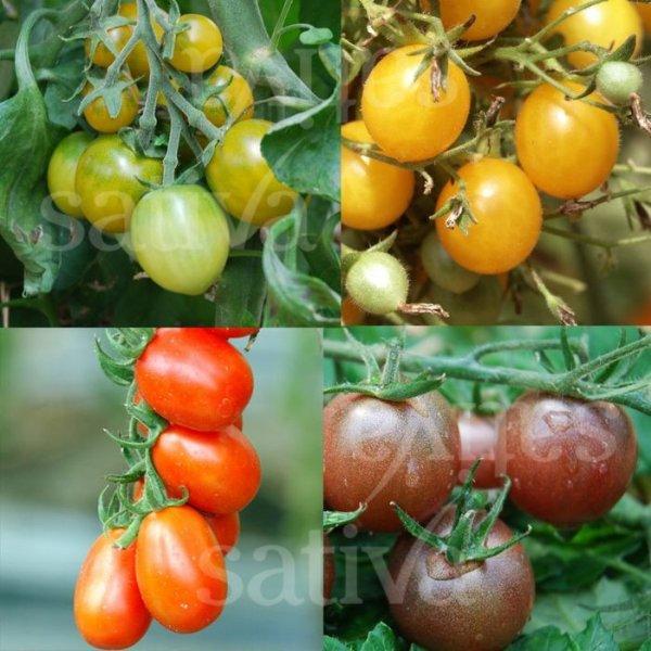 Kleinfruchttomaten Bild 1