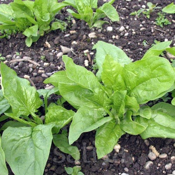 Erste Ernte - Spinat Bild 1