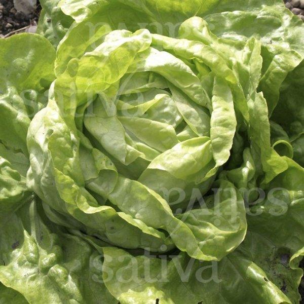 Ultra - Kopfsalat Freiland Bild 1