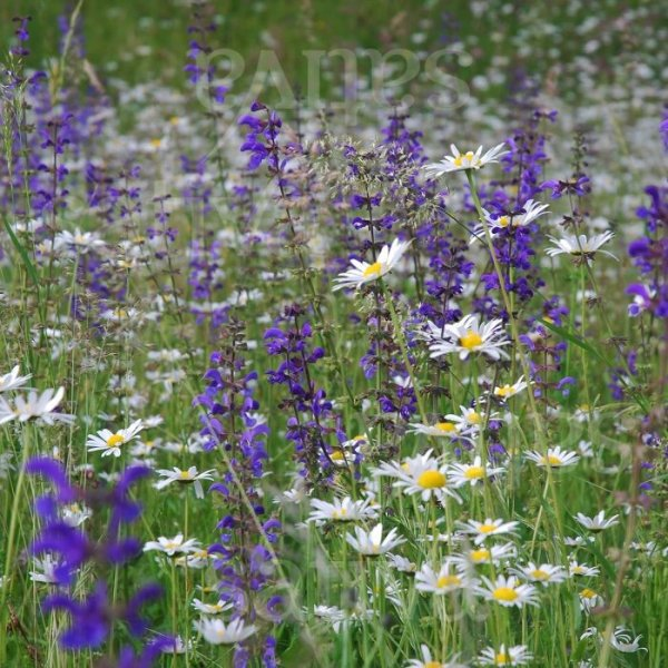 Wildblumenwiese Bild 1
