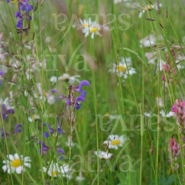 Wildblumenrasen Bild 1