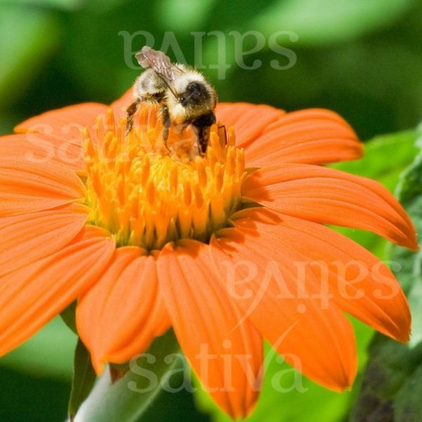 Mexikanische Sonnenblume 'Torch' Bild 1