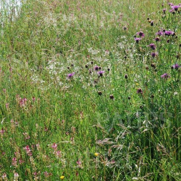 Rasenkräuter - Wildblumenmischung Bild 1