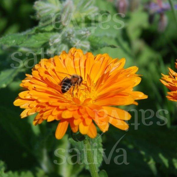 Ringelblume Orange Bild 1