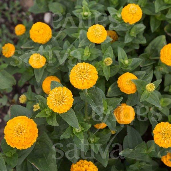 Zinne 'Liliput Kanariengelb' Bild 1