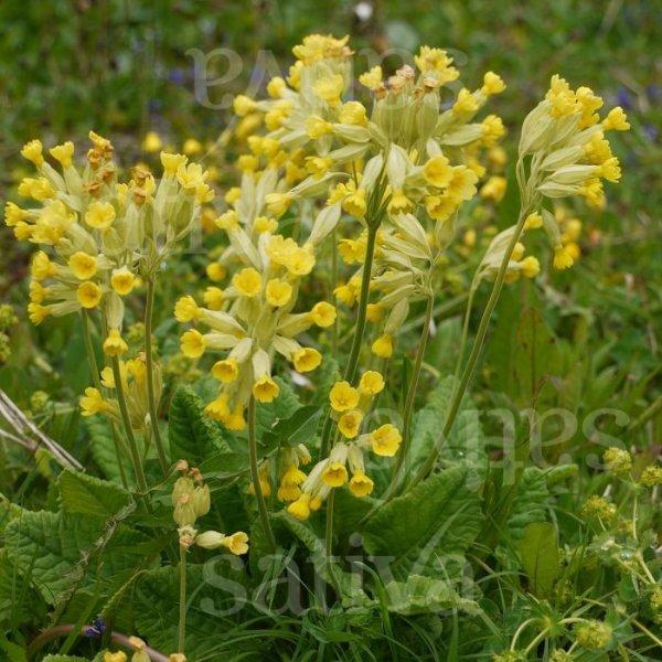 Frühjahrsschlüsselblume Bild 1