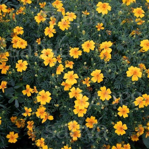 Studentenblume 'Von Eriswil' Bild 1