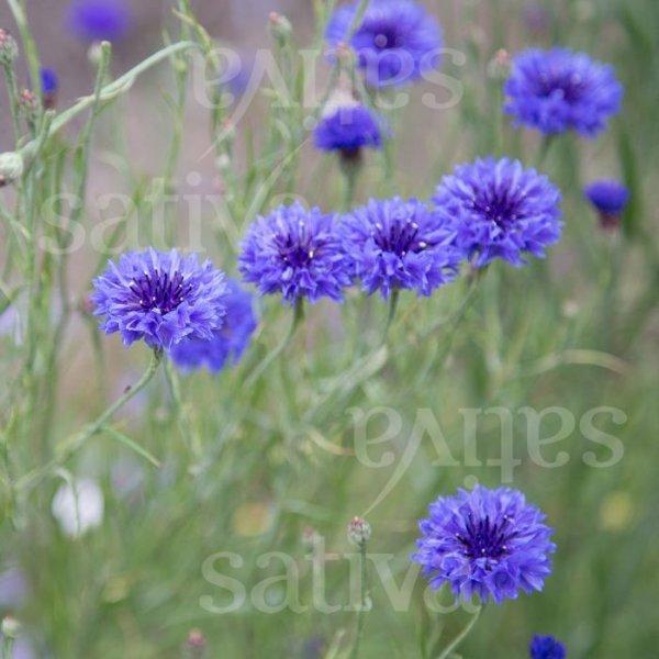 Kornblume 'Blauer Junge' Bild 1