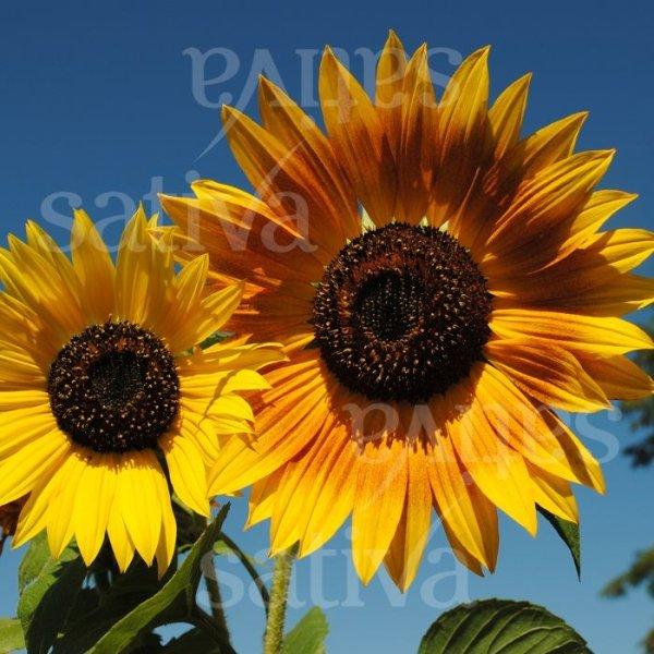 Sonnenblume verzweigt Bild 1