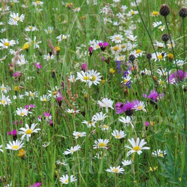 Trockenwiesenkräuter - Wildblumenmischung Bild 1