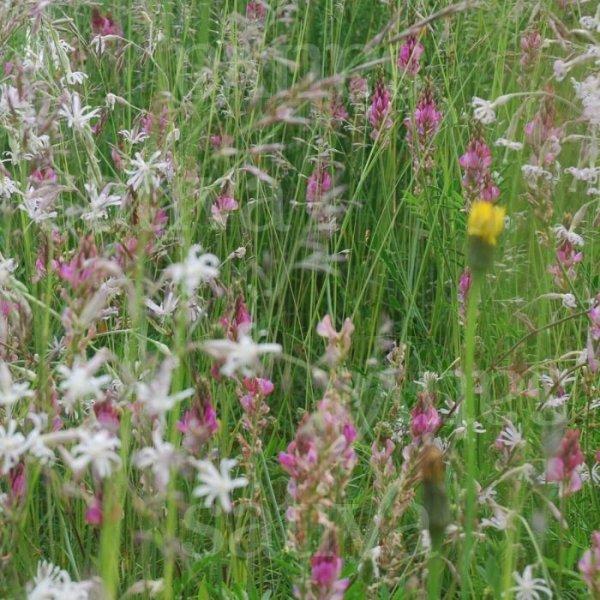 Schmetterling - Wildblumenmischung Bild 1