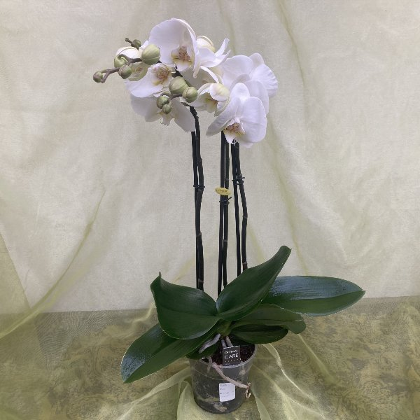 Phalaenopsis Orchidee Bild 1