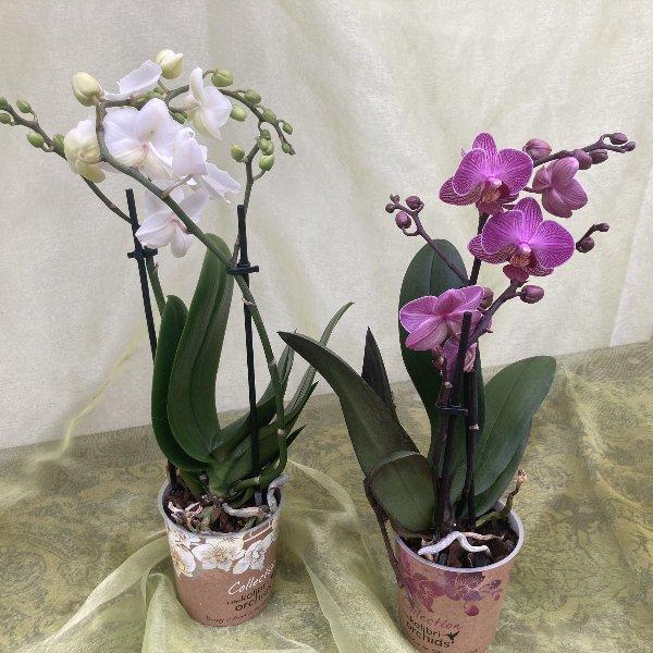 Orchidee Little Kolibri Bild 1