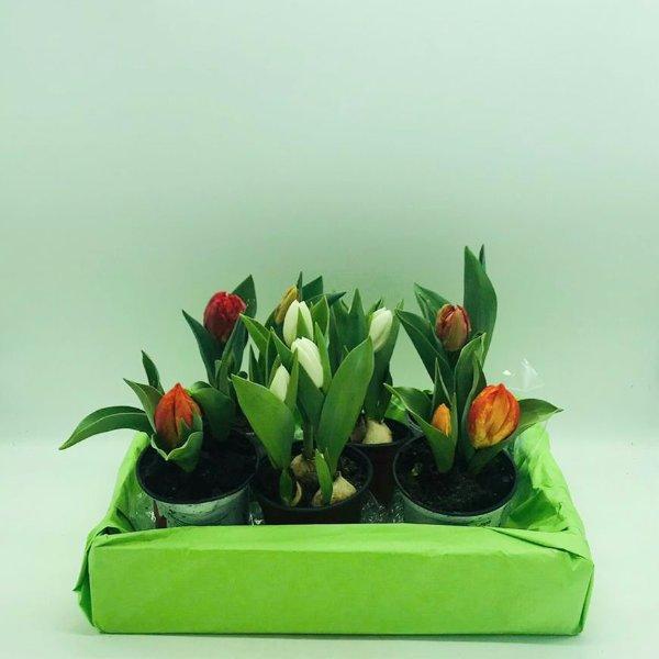 Tulpe im Topf Bild 1