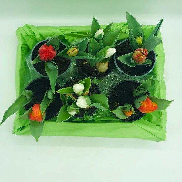 Tulpe im Topf Bild 2