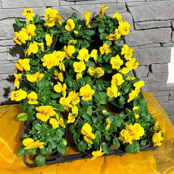 Viola mini gelb Bild 1