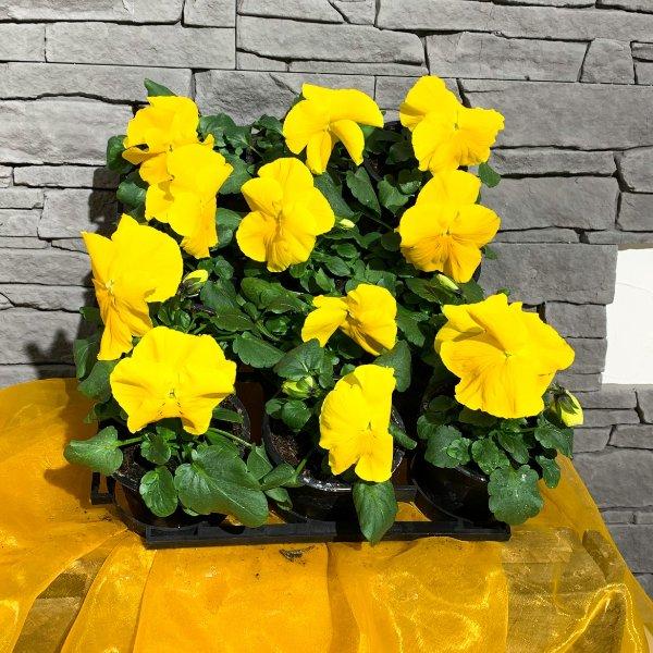 Viola gelb Bild 1