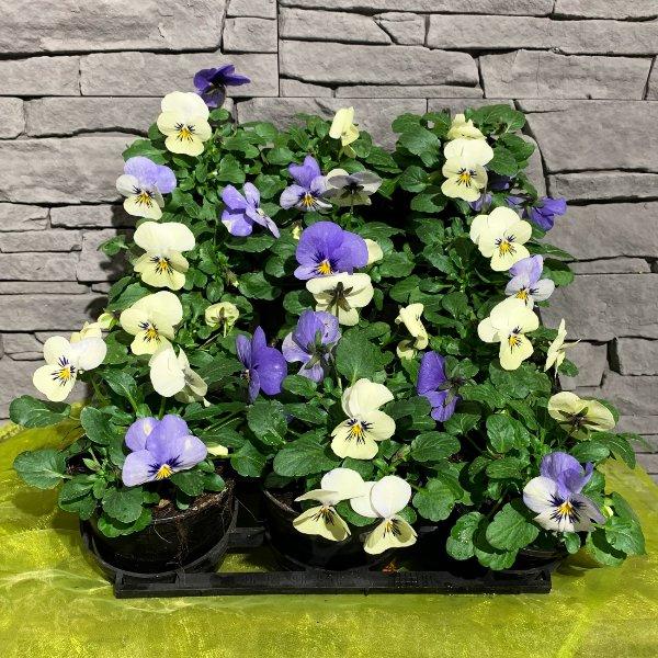 Viola mini weiß-blau Bild 1