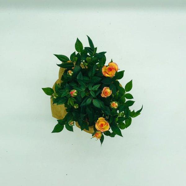 Rose im Topf Bild 2