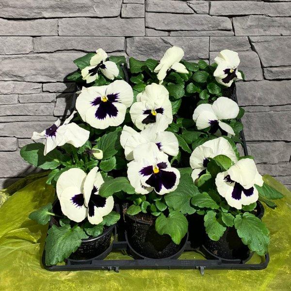 Viola weiß mit Auge (Lila) Bild 1