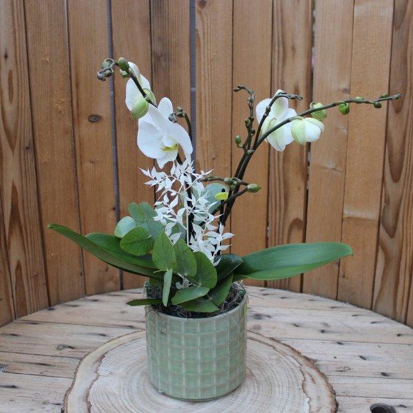 """Phalaenopsis """"Eukalyptus"""" Bild 1"""