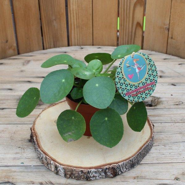Bauchnabelpflanze Bild 1