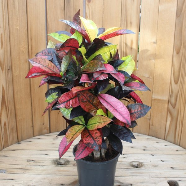 Croton Bild 1