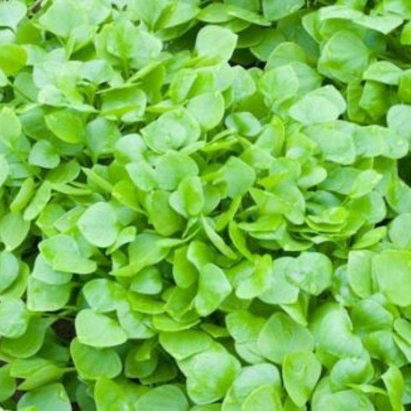 Winterpostelein - Montia perfoliata Bild 1