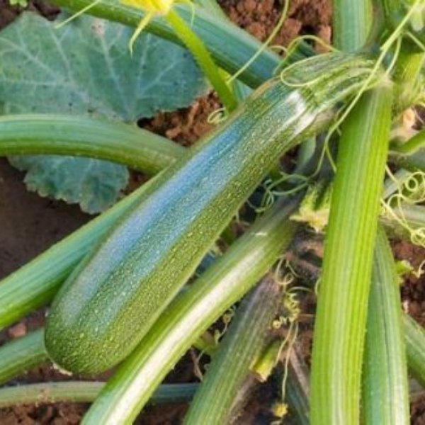 Zucchini - Zuboda Bild 1