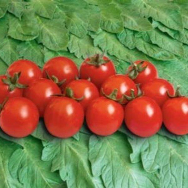 Tomate - Philamina Bild 1