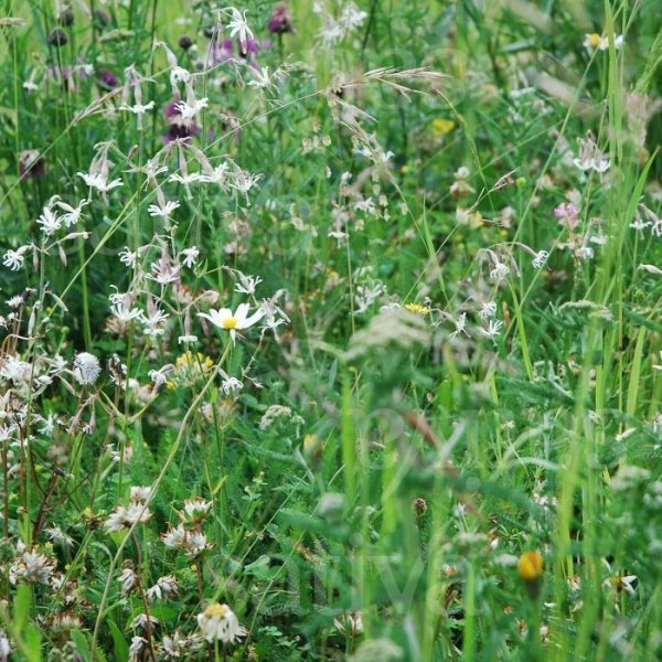 Schattig - Wildblumenmischung Bild 1