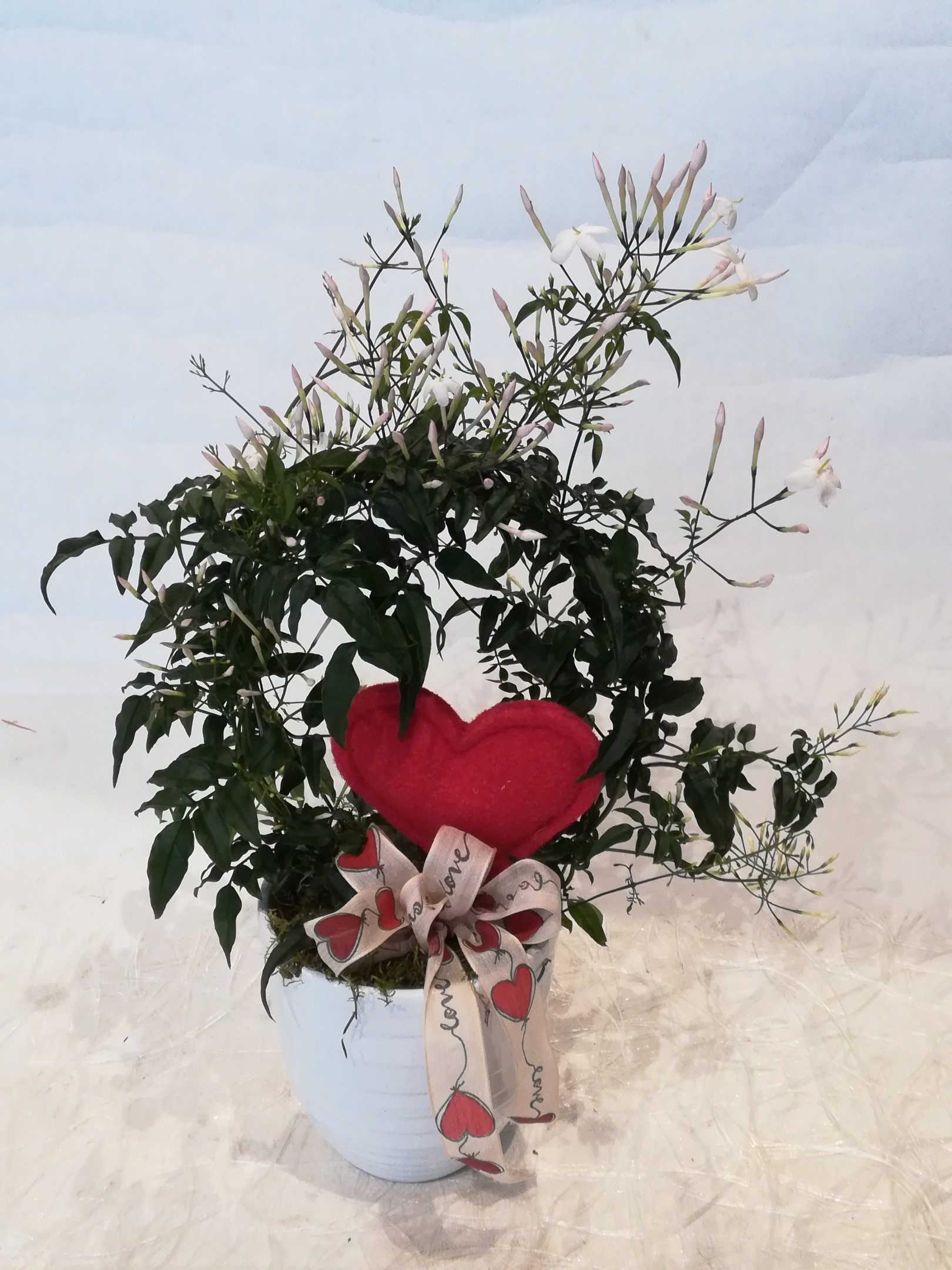 V 5  Jasimpflanze mit Übertopf Bild 1