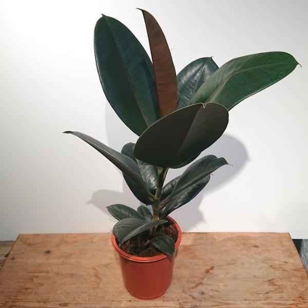 Ficus Bild 1