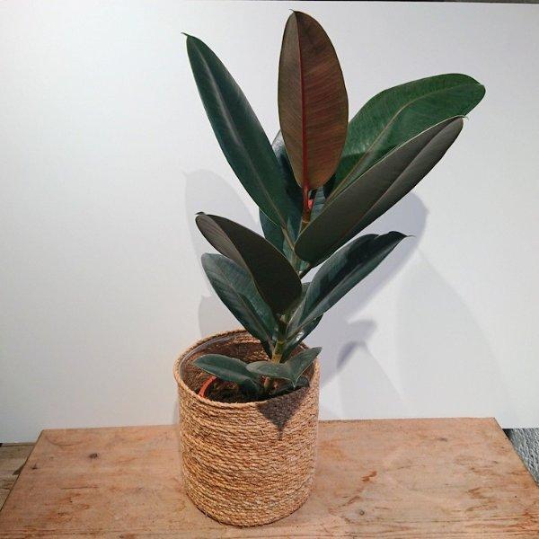 Ficus Bild 2