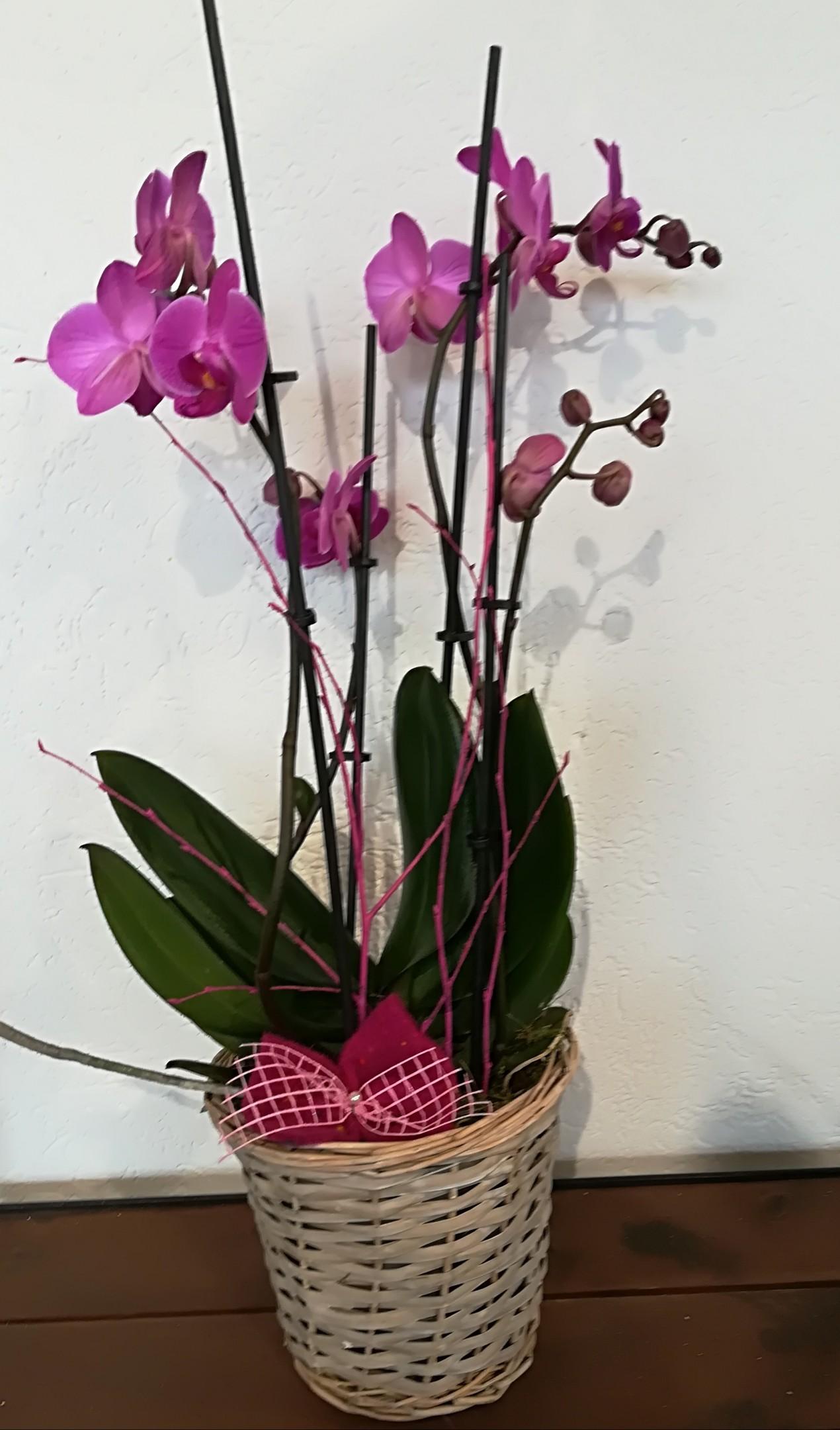 TP 2   Phalaenopsis pink mit Korb Bild 1
