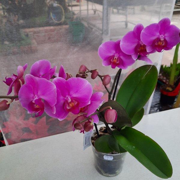 Orchidee G038 Bild 1