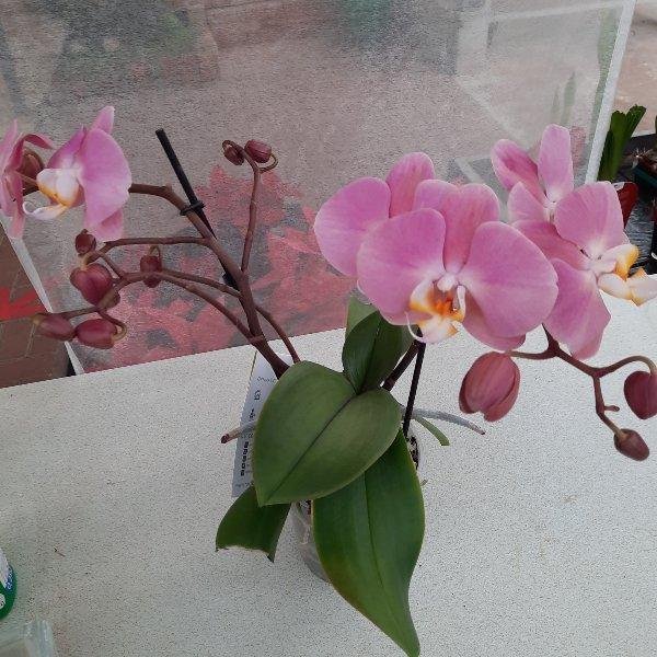 Orchidee G039 Bild 1