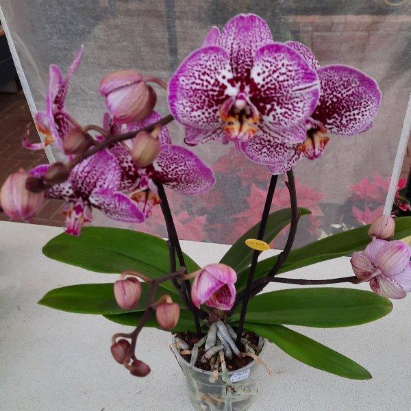 Orchidee G040 Bild 1