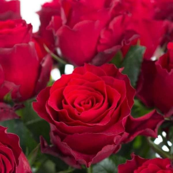 Rose Rhodos rot mittellang Bild 1