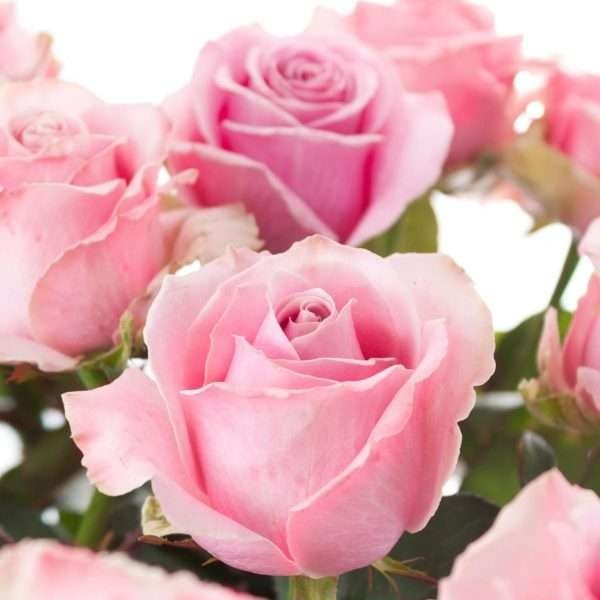 Rose Rosalie mittellang Bild 1