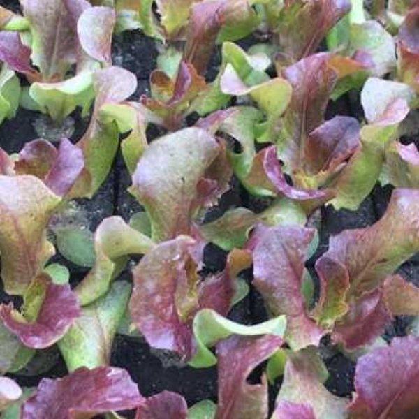 Kopfsalat rot Bild 1