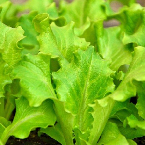 Kopfsalat grün Bild 1
