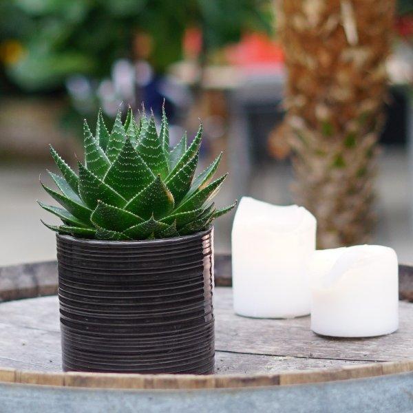 Aloe 'Cosmo' Bild 3